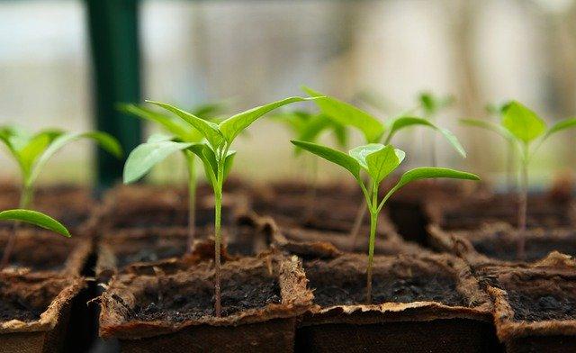 セダン草は生で食べられるから便利