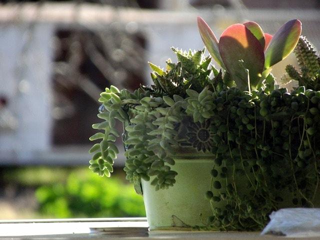 セダン草は食べなくても観葉植物として楽しめる